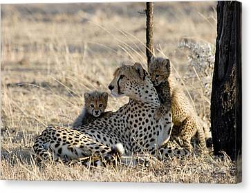 Cheetah Mother And Cubs Canvas Print by Gregory G. Dimijian, M.D.