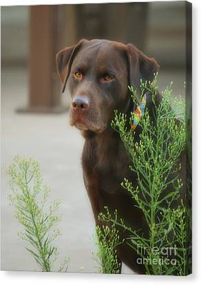 Chocolate Labrador - Womans Best Friend Canvas Print by Donna Greene