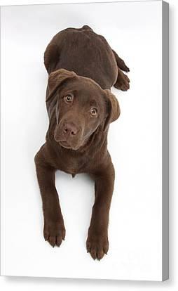 Chocolate Labrador Pup Canvas Print