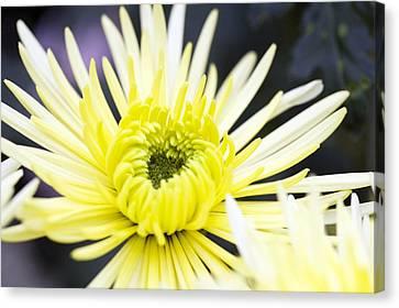 Chrysanthemum 'sheena' Canvas Print by Jon Stokes