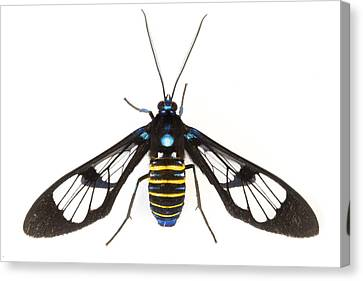 Clearwinged Tiger Moth Tapanti Np Costa Canvas Print by Piotr Naskrecki