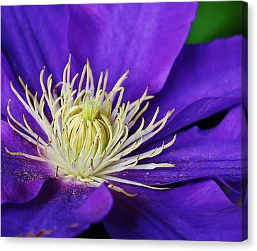 Clematis Close Up Canvas Print by Bruce Bley