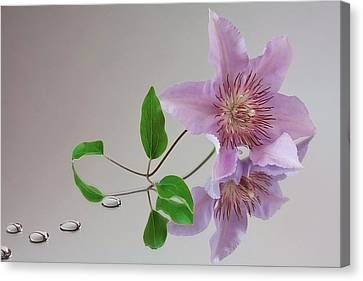 Canvas Print featuring the photograph Clematis 'filigree' by Shirley Mitchell