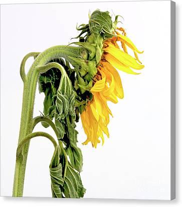 Close Up Of Sunflower. Canvas Print