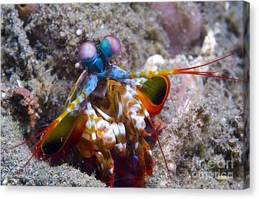 Close-up View Of A Mantis Shrimp, Papua Canvas Print by Steve Jones