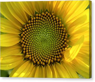 Closeup Of A Sunflower At The Sunflower Canvas Print