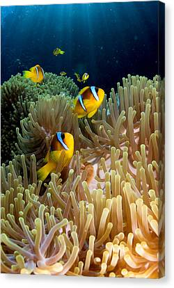 Clown Fish (amphiprion Bicinctus), St Johns Reef, Red Sea, Egypt Canvas Print by Oxford Scientific