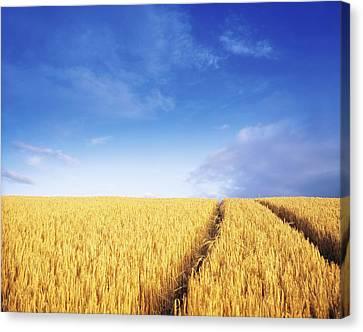 Co Carlow, Ireland Barley Canvas Print