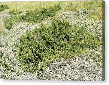 Coastal Vegetation Canvas Print by Adrian Bicker