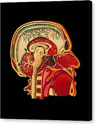 Coloured Illustration Of Sectioned Brain In Head Canvas Print by Mehau Kulyk
