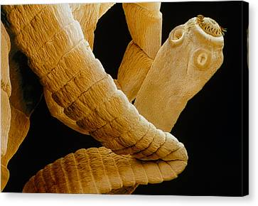 Coloured Sem Of A Tapeworm, Taenia Sp. Canvas Print by Power And Syred