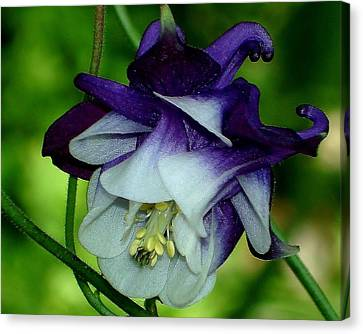 Canvas Print featuring the photograph Columbine Flower by Katy Mei