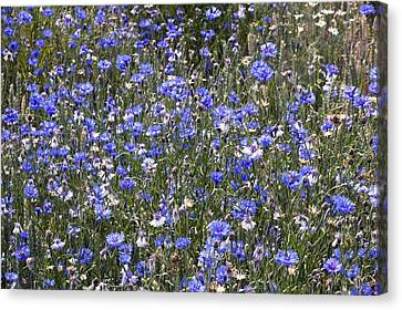 Cornflowers (centaurea Cyanus) Canvas Print