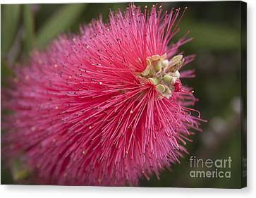 Crimson Bottlebrush - Callistemon Citrinus  Canvas Print by Sharon Mau