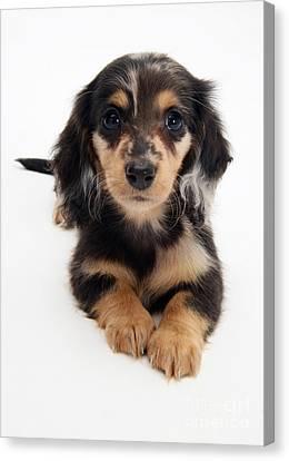 Dachshund Pup Canvas Print by Jane Burton