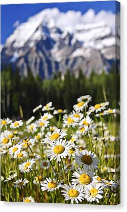 Daisies At Mount Robson Provincial Park Canvas Print by Elena Elisseeva