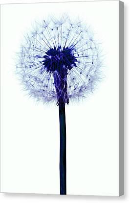 Dandelion Seed Head Canvas Print by Victor De Schwanberg