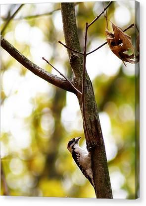 Downy Woodpecker Canvas Print by Scott Hovind