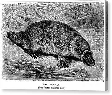 duckbill platypus canvas print duck billed platypus by granger