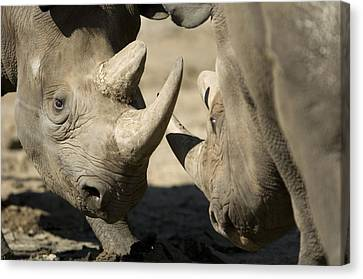 Eastern Black Rhinoceros Canvas Print by Joel Sartore