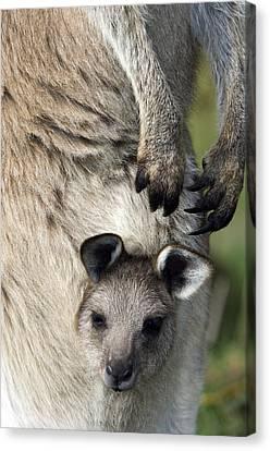 Eastern Grey Kangaroo Joey Canvas Print by Tony Camacho