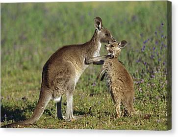 Eastern Grey Kangaroo Macropus Canvas Print by Cyril Ruoso