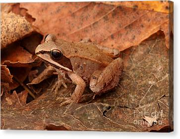 Eastern Wood Frog Canvas Print by Ted Kinsman