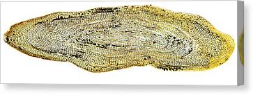 Eel Scale, Light Micrograph Canvas Print by Dr Keith Wheeler