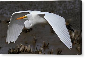 Egret Flight Canvas Print by Phil Lanoue