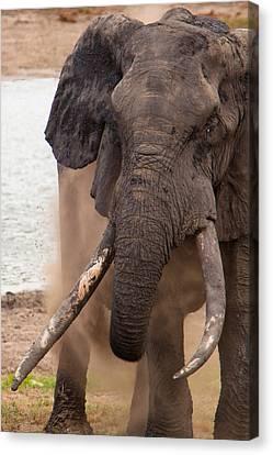 Elephant Dust Bath Canvas Print by Hein Welman