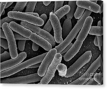 Escherichia Coli Bacteria, Sem Canvas Print by Science Source