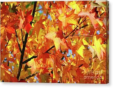 Maple Season Canvas Print - Fall Colors by Carlos Caetano