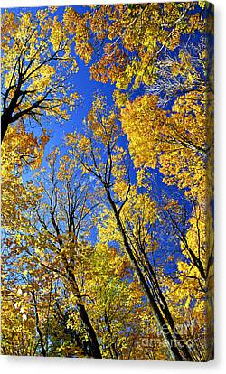 Fall Maple Trees Canvas Print by Elena Elisseeva
