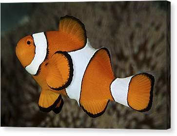 False Clownfish Canvas Print by Steve Rosenberg - Printscapes