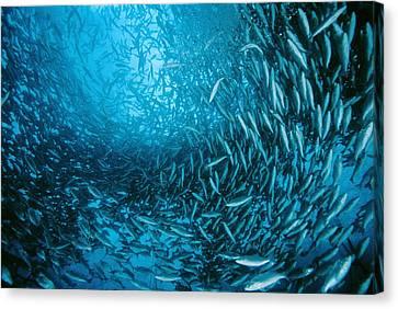 Farmed Sea Bass Canvas Print by Alexis Rosenfeld