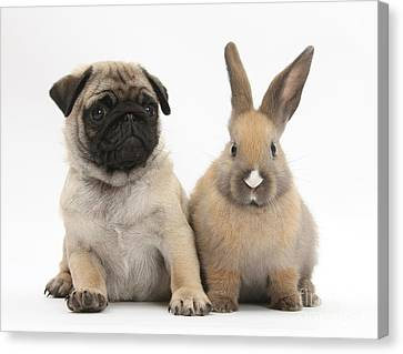 Fawn Pug Pup And Young Rabbit Canvas Print