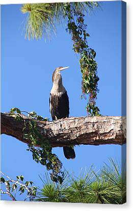 Female Anhinga Canvas Print by Rosalie Scanlon