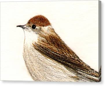 Canvas Print featuring the drawing Female Blackcap  by Barbara Moignard