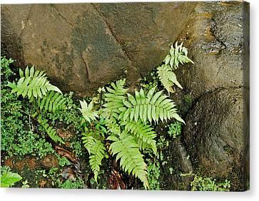 Ferns Canvas Print by Michael Peychich
