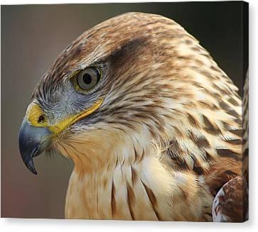 Ferruginous Hawk Canvas Print by Paulette Thomas