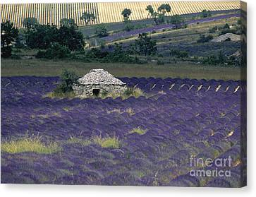 Field Of Lavender. Sault Canvas Print