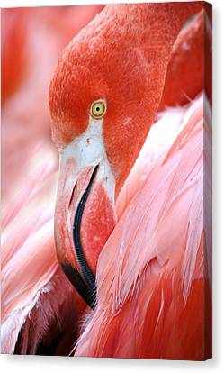 Flamingo Canvas Print by Paulette Thomas