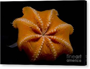 Flapjack Octopus Canvas Print