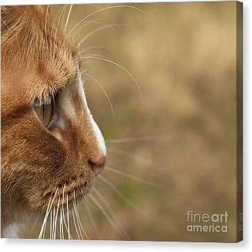 Canvas Print featuring the photograph Flitwick The Cat by Jeannette Hunt