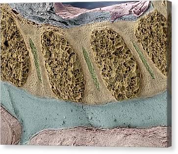 Foetal Spinal Column Canvas Print by Steve Gschmeissner