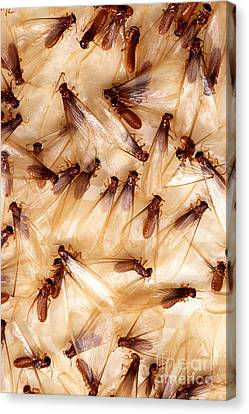 Formosan Termites Canvas Print by Science Source