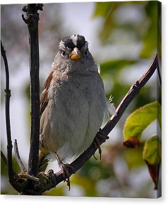 Canvas Print featuring the photograph Gambel's White Crowned Sparrow by Ronda Broatch