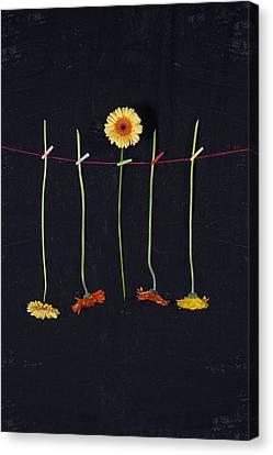 Clothes-line Canvas Print - Gerbera by Joana Kruse