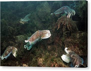 Giant Cuttlefish Canvas Print by Georgette Douwma