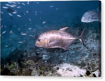 Caesionidae Canvas Print - Giant Trevally by Georgette Douwma